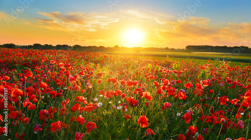 Fotobehang Poppy Poppy field at sunrise in summer countryside