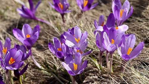 227adf9245 Stock Video of beautiful spring crocus close-up background at Adobe Stock