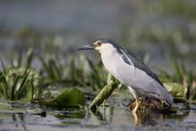 Black-crowned Night-heron, Nyc...