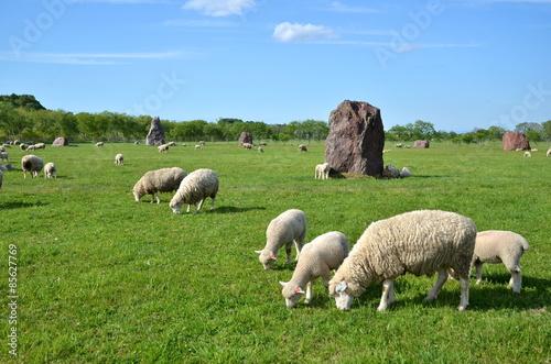 Leinwand Poster Weiden lassende Schafe und Grasessen