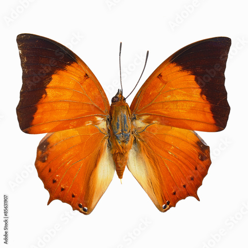 Photo  Common Tawny Rajah butterfly