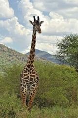 Panel Szklany Żyrafa Giraffa