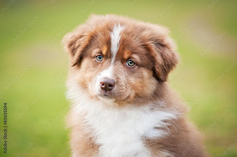 Fototapety, obrazy: Portrait of australian shepherd puppy