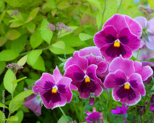 Papiers peints Pansies Group of pansy in the garden
