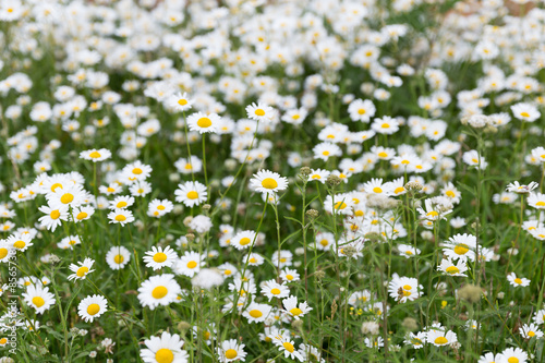 Foto op Canvas Madeliefjes daisy flower meadow