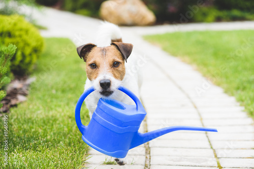 Slika na platnu Cute JackRussell with a watering can