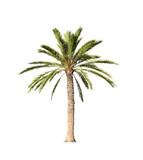 Big palm tree isolated on white - 85672779
