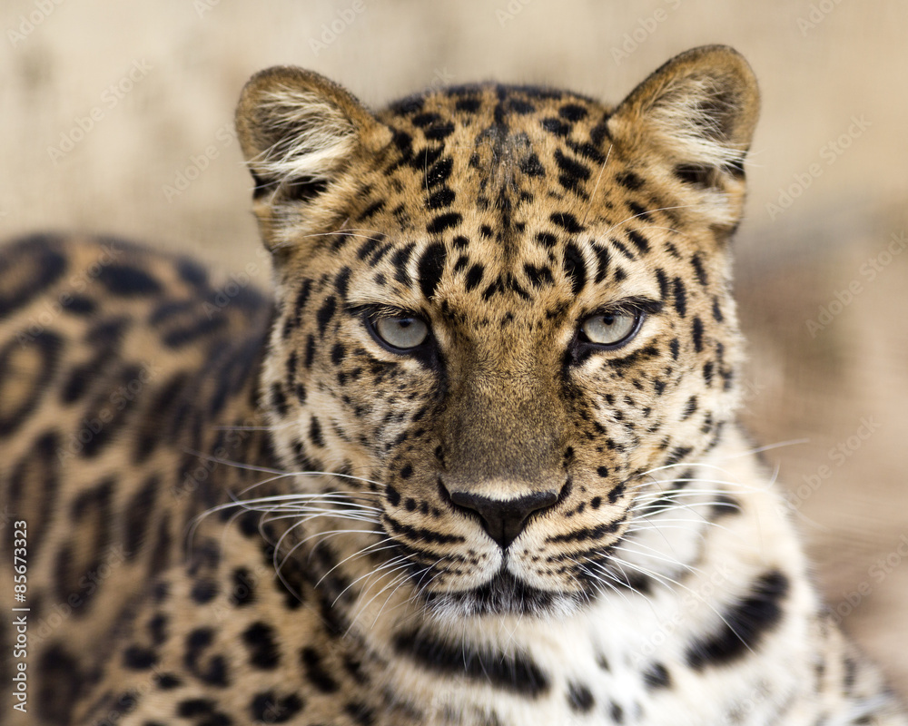 close up portrait of an Amur leopard making eye contact