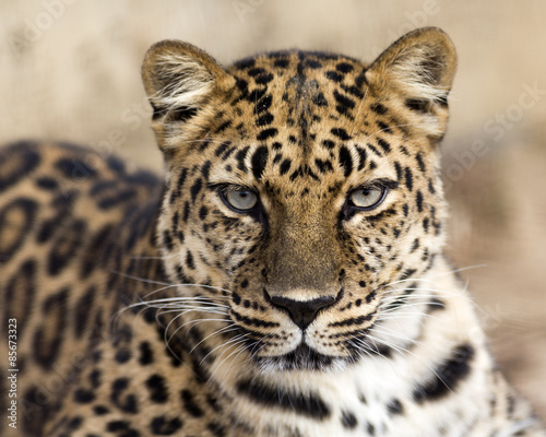 Spoed Foto op Canvas Luipaard close up portrait of an Amur leopard making eye contact