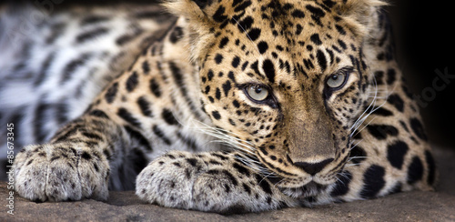 In de dag Luipaard resting Amur leopard makes eye contact