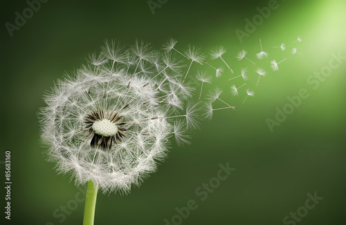 Dandelion clock in morning