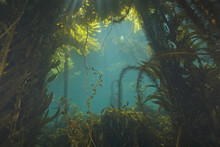 Seaweed At California Kelp For...