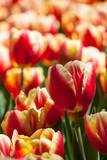Pole dwukolorowych tulipanów
