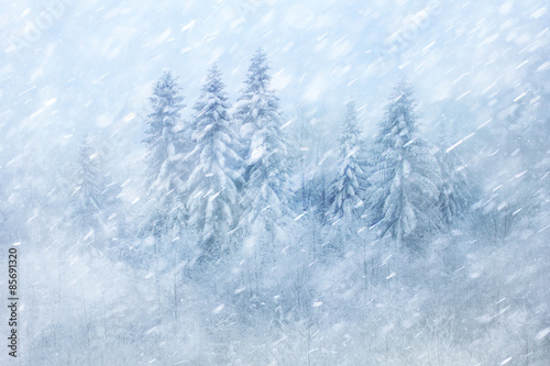 Obraz Winter forest scene with snowfall. Beautiful heavy snowfall forest landscape background. - fototapety do salonu