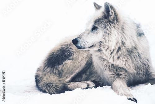 Deurstickers Wolf Arctic Wolf