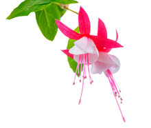 Blooming Beautiful Red And White Fuchsia Flower Is Isolated On W