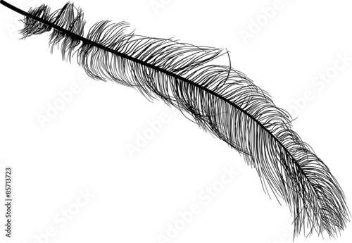 illustration with long ostrich feather on white