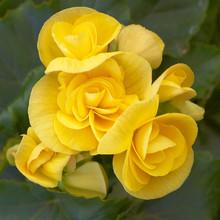 Yellow Begonia Flowers Closeup In The Garden