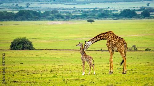 Foto op Plexiglas Giraffe A mother giraffe with her baby