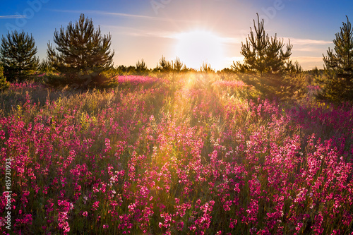 Poster de jardin Sauvage landscape with the blossoming meadow at sunrise