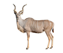 Greater Kudu Isolated On A Whi...