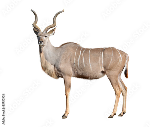 Deurstickers Antilope greater kudu isolated on a white background