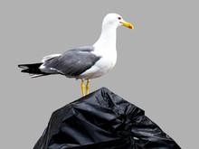 Seagull On Garbage