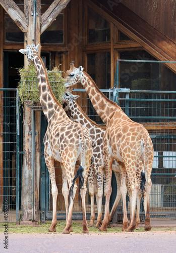 Fototapety, obrazy: Giraffen während der Fütterung im Zoo