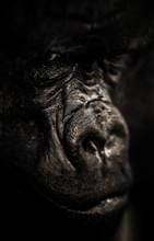 Gorilla Portrait, Silverback G...