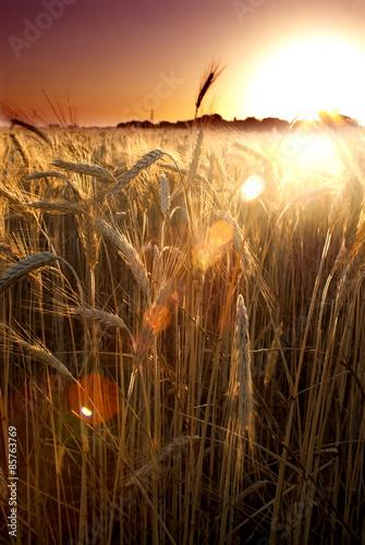 Foto auf Gartenposter Landschappen Wheat field on the sunrise of a sunny day
