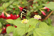 "White Striped Red And Black ""H..."