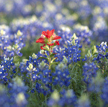 Bluebonnets And Indian Paintbrush Wildflowers In Texas
