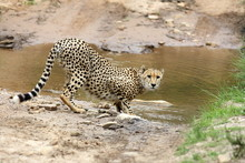 A Cheetah Stops For A Quick Dr...
