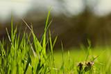 green grass  morning