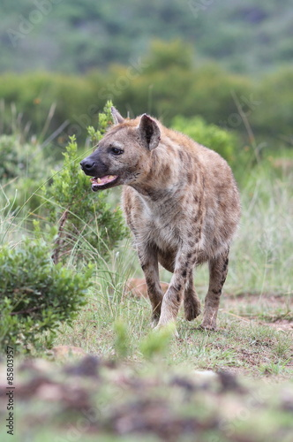 Staande foto Hyena A spotted hyena from safari in South Africa