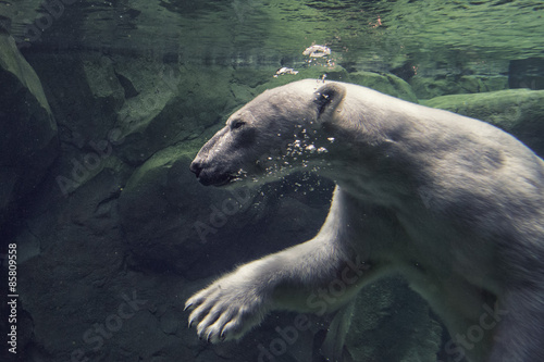 Papiers peints Ours Blanc white bear underwater at the zoo
