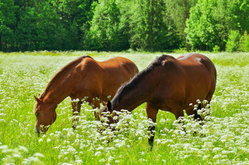 Fototapeta Wiejski Two horses on meadow