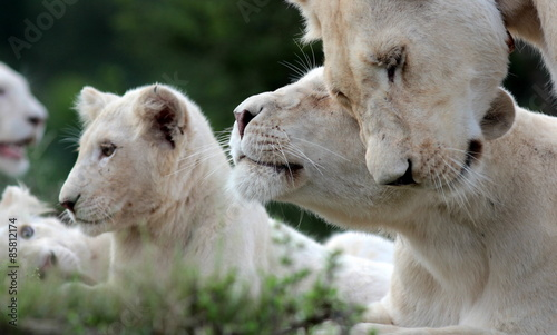 Photo  A free roaming wild white lion pride in south Africa