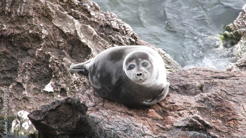 Fototapeta premium Baikal seal (endemic) that lives in the deepest lake in the world.
