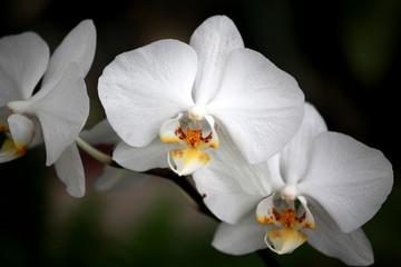 Fototapeta Storczyki Storczyki - storczyk (Orchis - Orchidaceae) – byliny