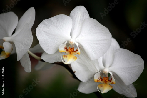 Fototapeta premium Storczyki - storczyk (Orchis - Orchidaceae) – byliny