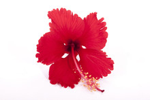 Frilly Red Petals Of Exotic Red Hibiscus Flower