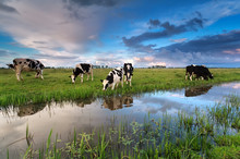 Few Cows Grazing On Pasture By...