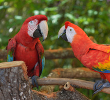 Parrots,psittacines, Are Chasing Each Other