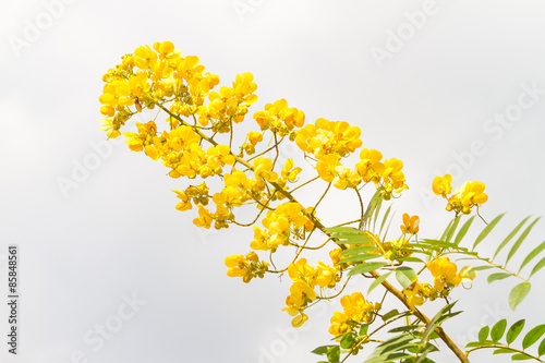 Fotografia  cassod tree, cassia siamea or siamese senna is yellow flower which is edible pla
