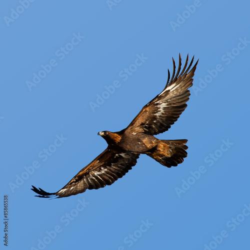 Adler, Steinadler Fototapete