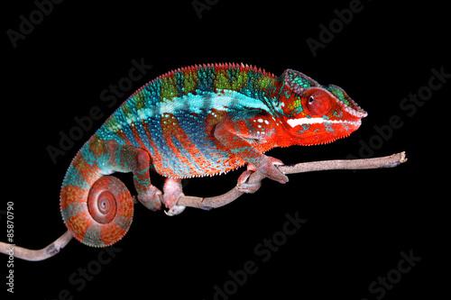 Foto op Aluminium Kameleon Chamäleon