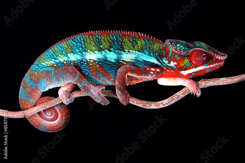 Foto op Plexiglas Kameleon Chamäleon