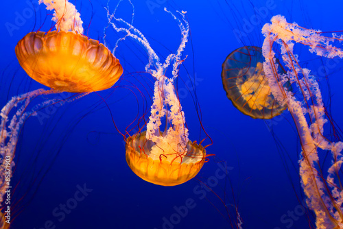 Photo  Floating Jelly Fish