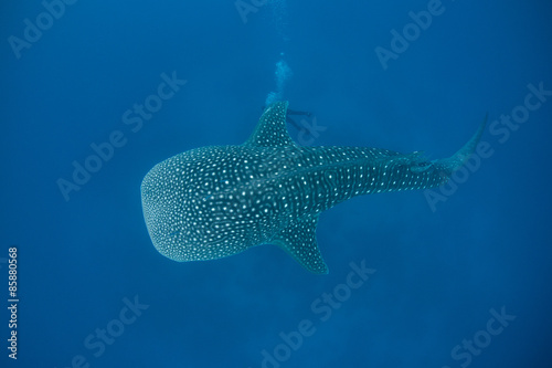 Poster Aigle Whale Shark in Blue Water